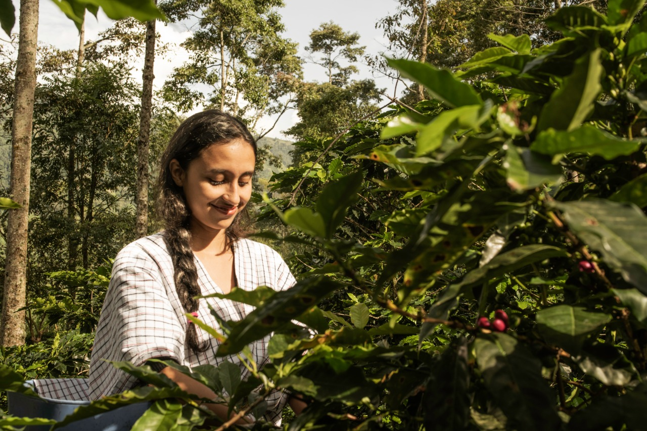 Excombatientes exportarán café orgánico