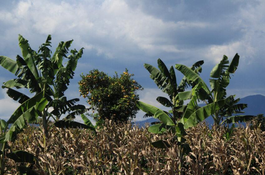 Convocatoria del Gobierno Nacional para cultivadores de maíz, frijol y arroz