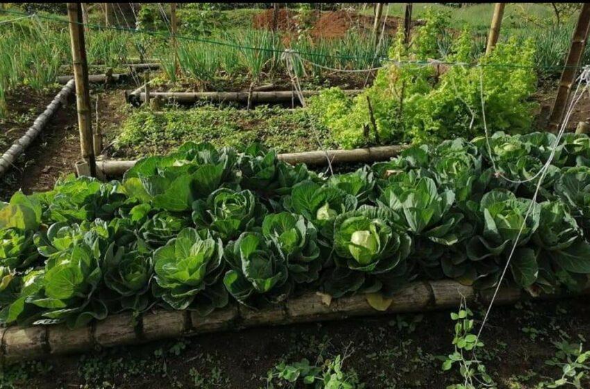 Programa Huertas Comunitarias en Acevedo sigue cosechando.