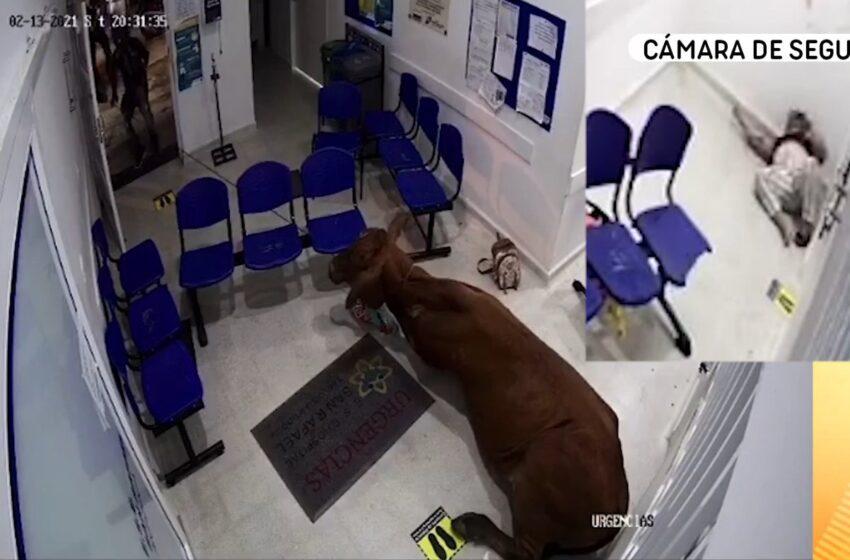 Susto por vaca que se metió a Urgencias en Antioquia y causó estragos