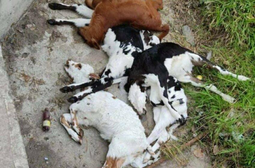 Varios terneros fueron envenenados y arrojados a una alcantarilla en zona rural de Pitalito.