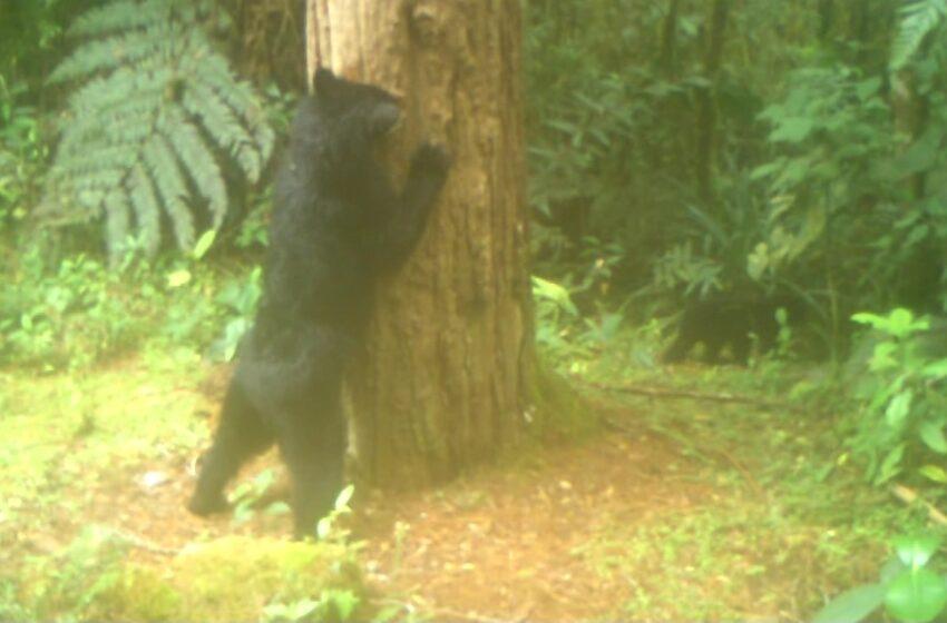 Avistada familia de osos anteojos en San Agustín, Huila