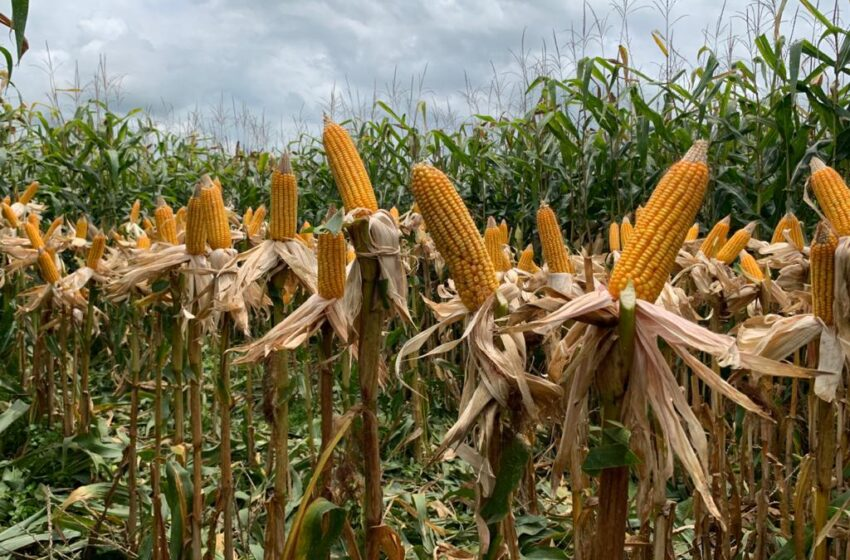 Semana Pioneer – 'Cultiva el conocimiento', la experiencia más completa de actualización sobre maíz